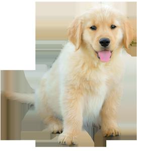 Golden Retriever puppy Daisy of Trog's Dogs