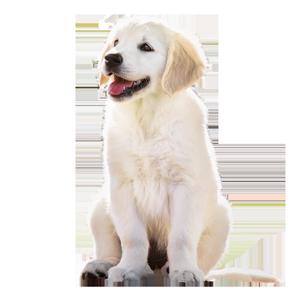 Golden Retriever puppy ZuZu of Trog's Dogs