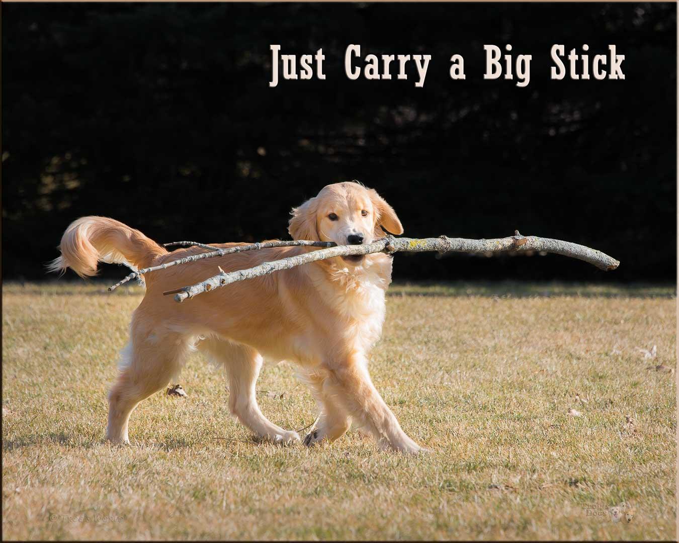 Golden Retriever puppy carrying a big stick