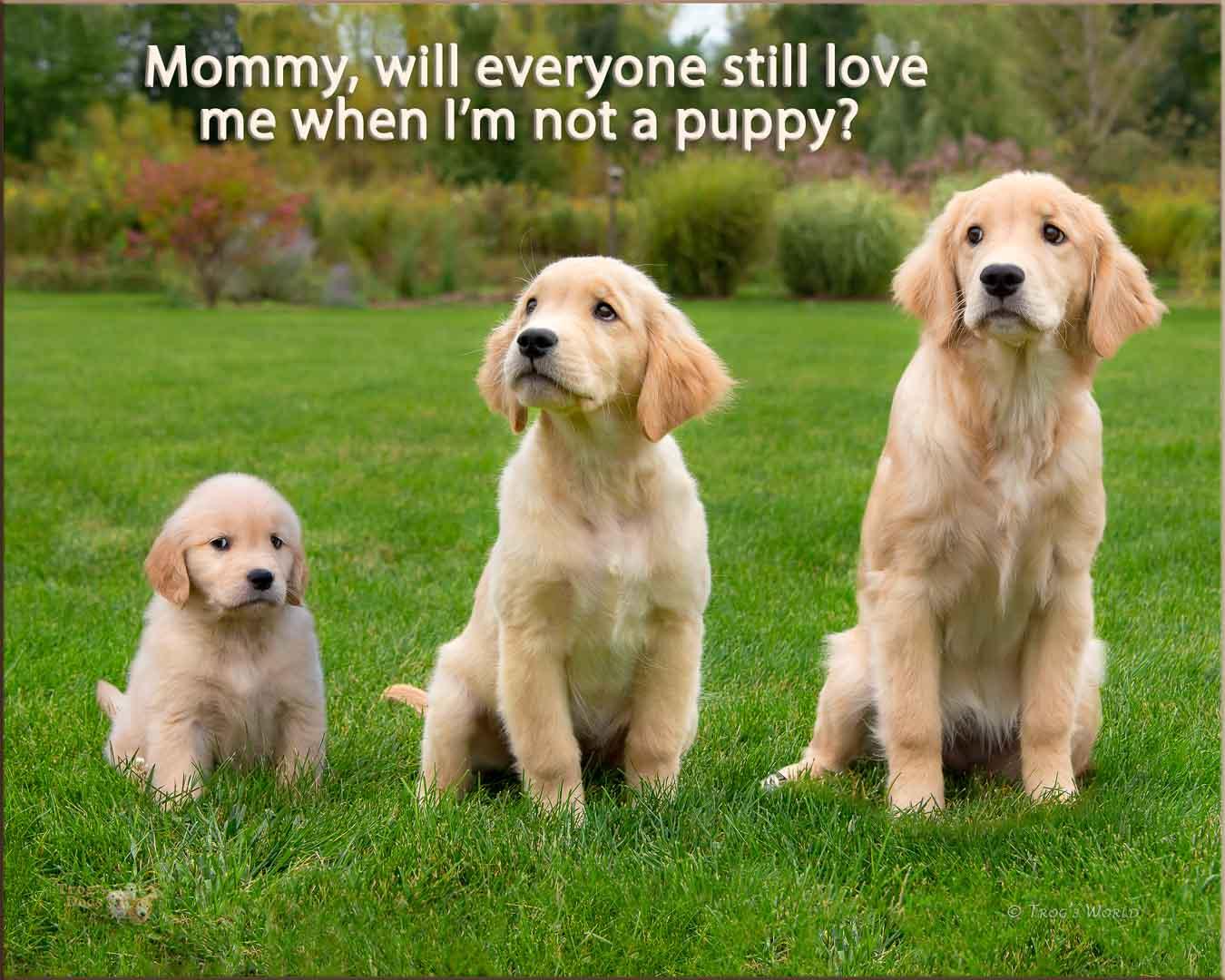 Golden Retriever puppy growing montage