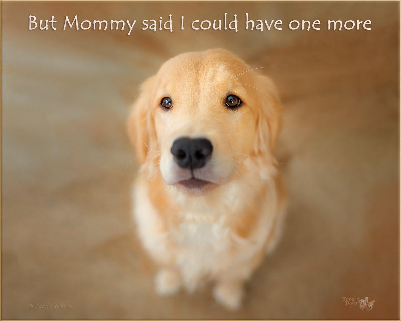 Golden Retriever puppy looking up