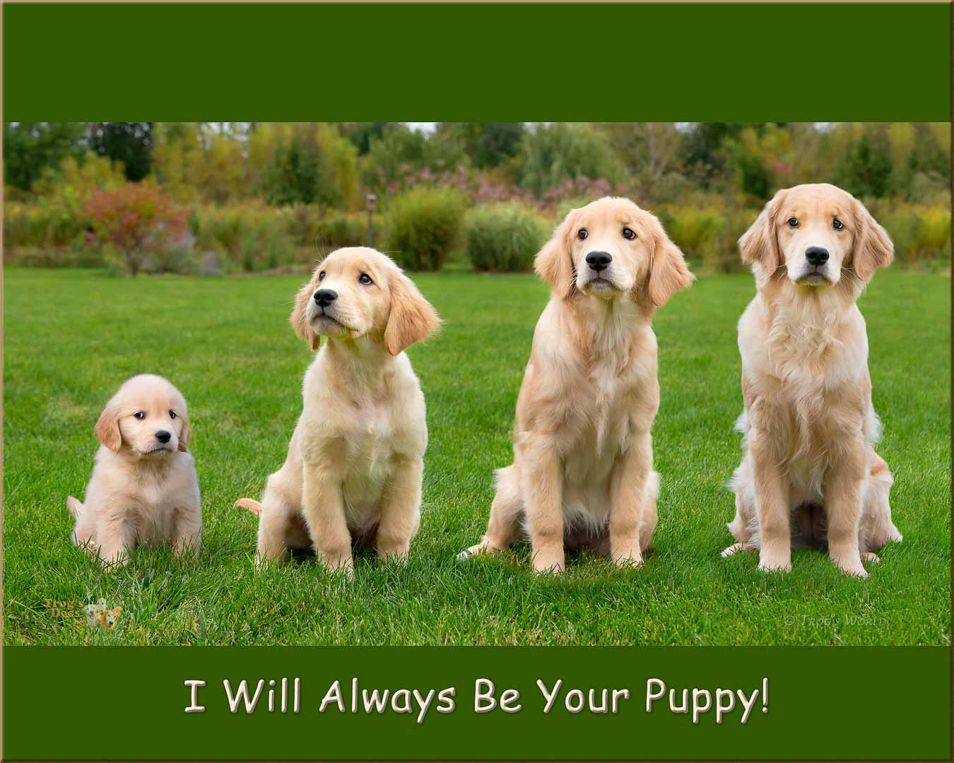 Montage showing growth of a golden retriever puppy