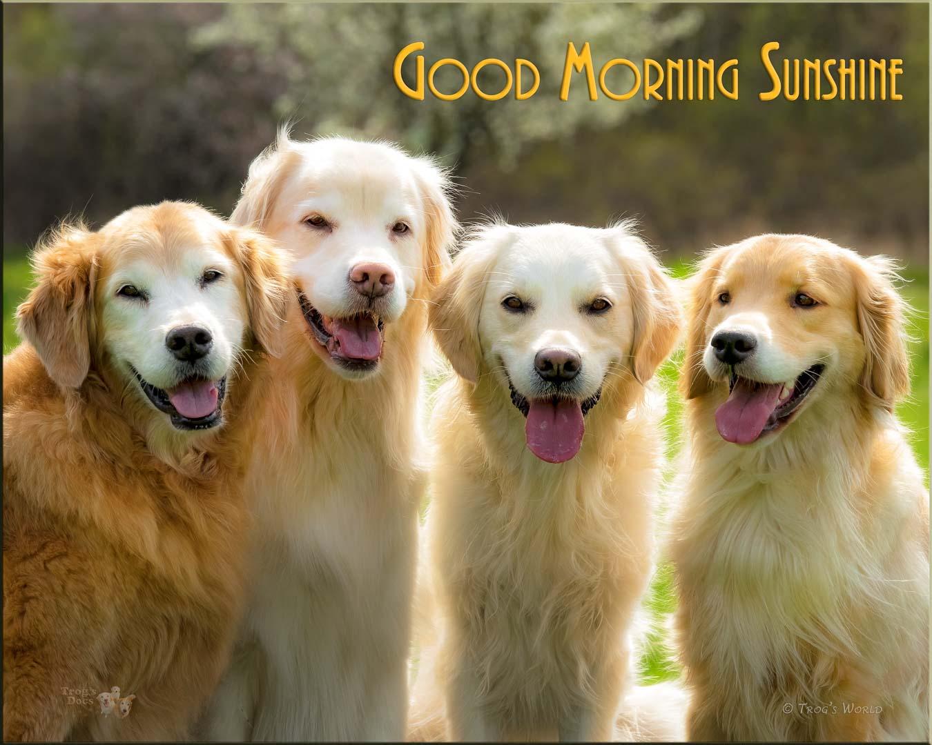 Golden Retrievers smiling in the morning sunshine
