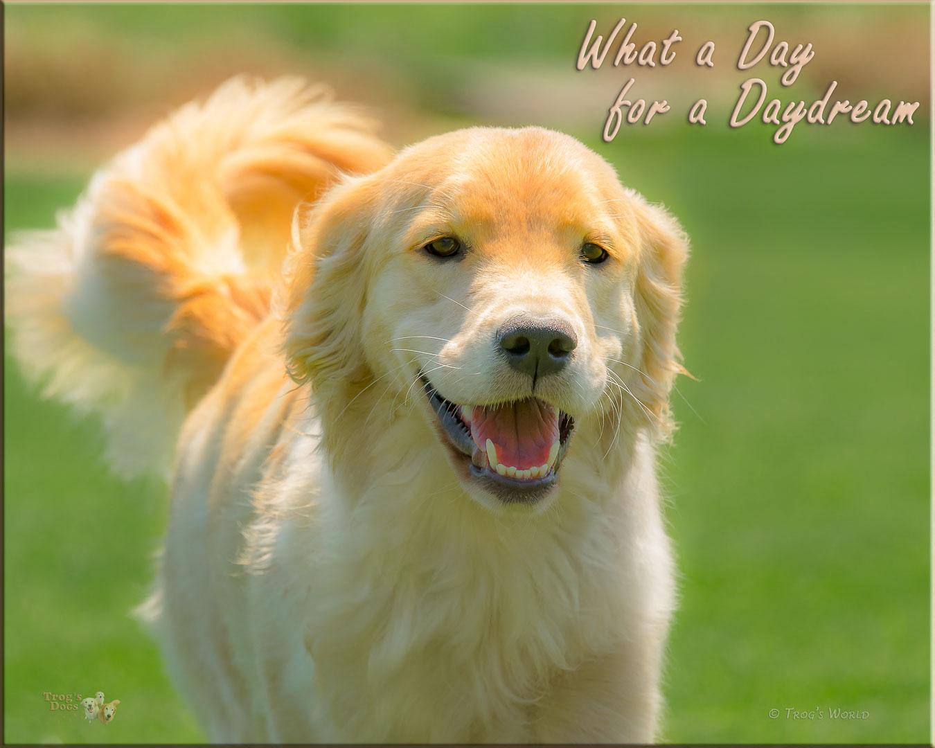 Golden Retriever smiling on a spring day