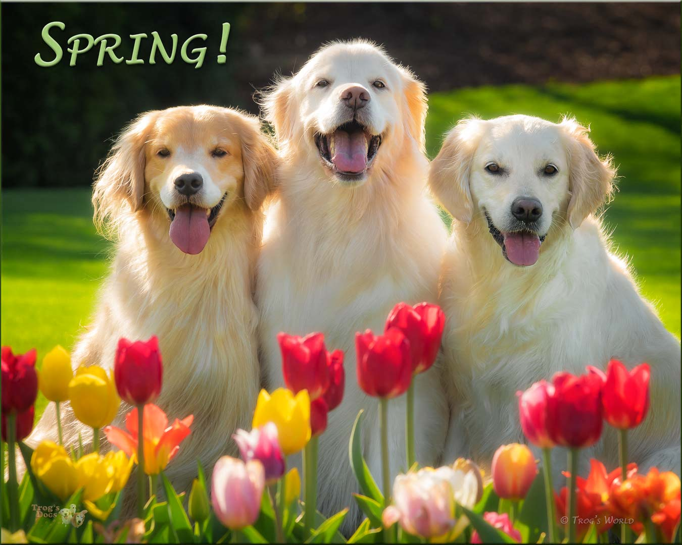 Golden Retrievers smiling behind the tulips
