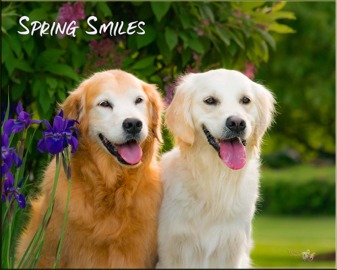 Two Golden Retrievers on a spring day