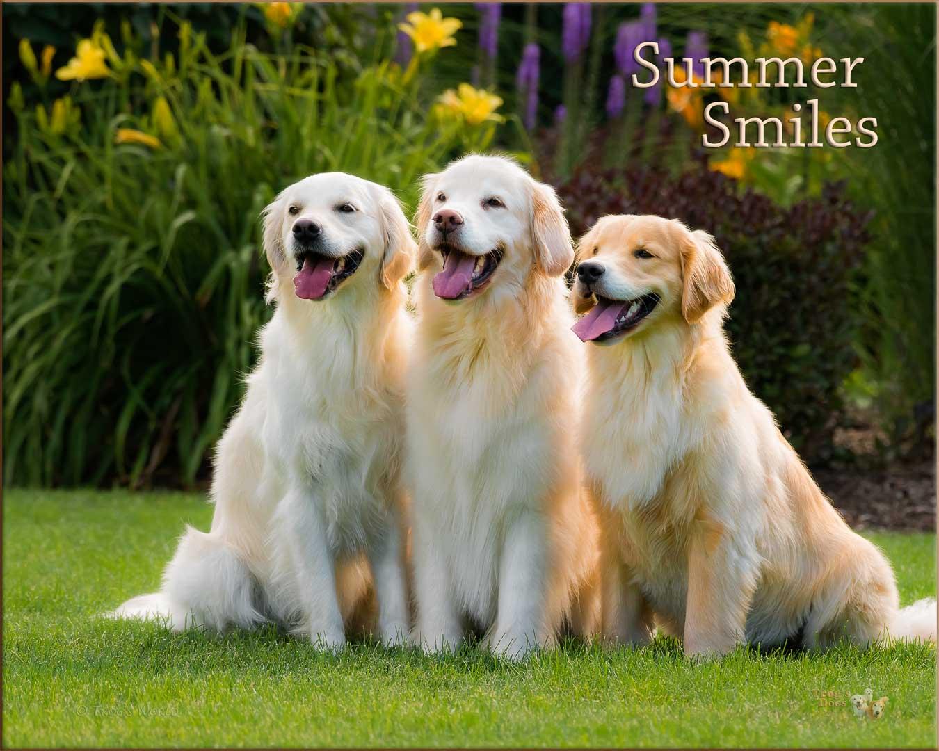 The Golden Retrievers on a summer day