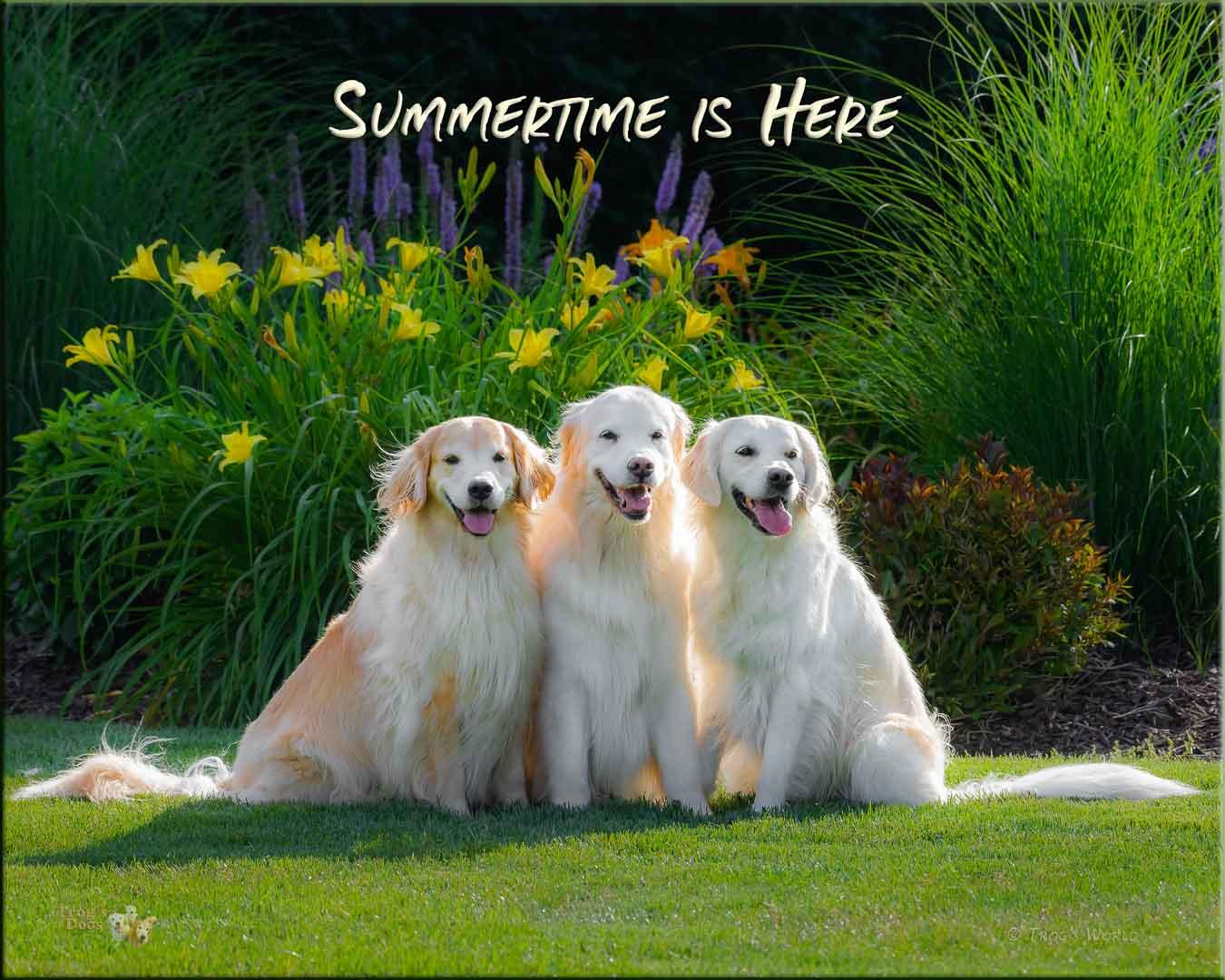 Golden Retriever summer portrait