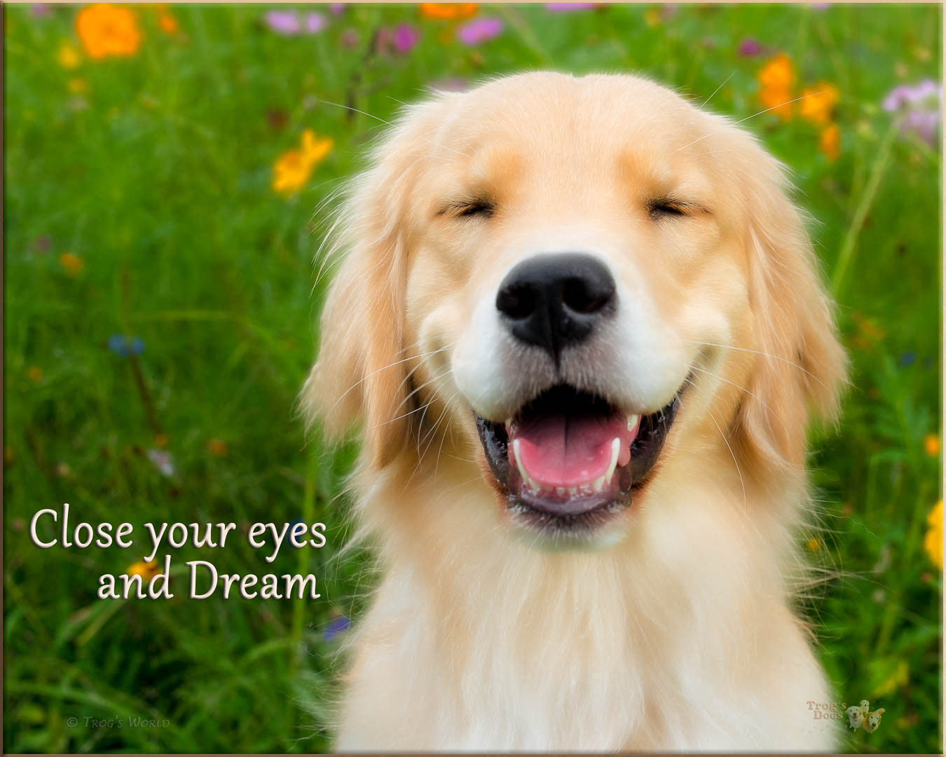 Golden Retriever closing its eyes and dreaming