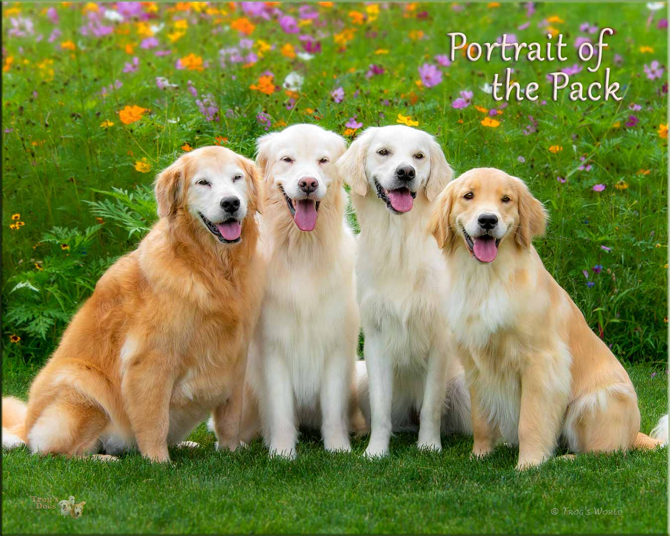 Four Golden Retrievers pose for a picture