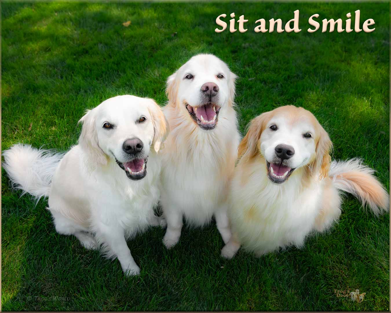 Three Golden Retrievers smiling in the sun