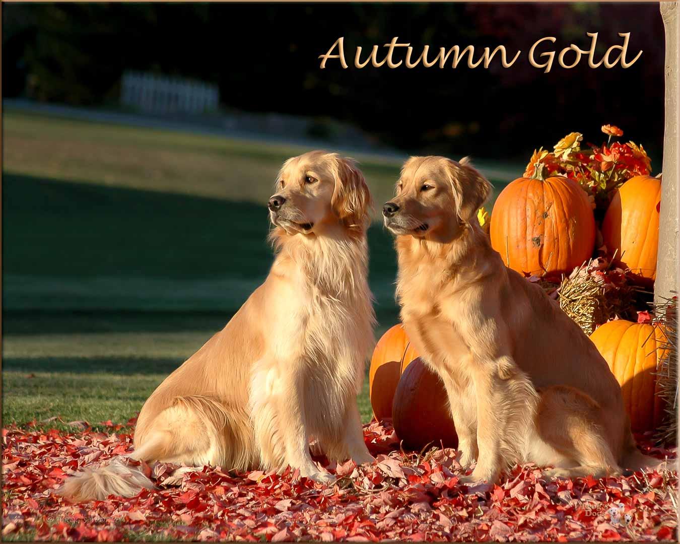 Two golden retrievers and an autumn evening