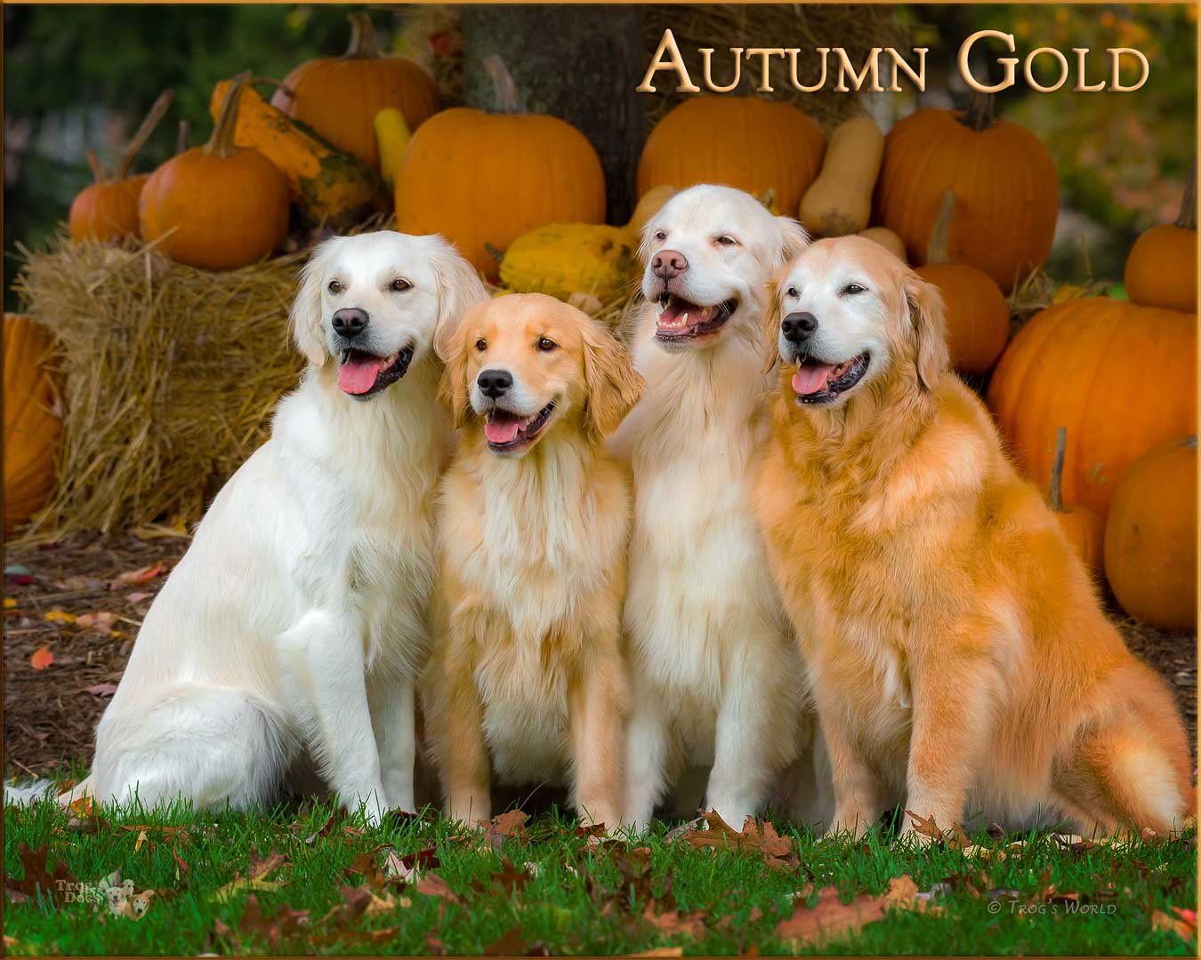 Four Golden Retrievers pose in front of the pumpkins
