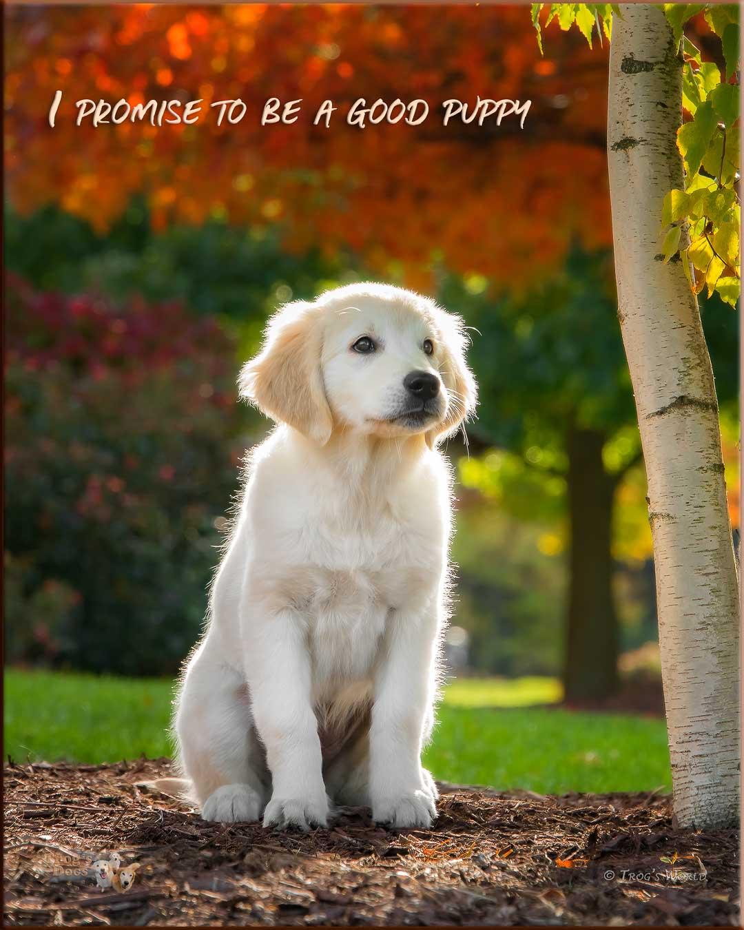 Golden Retriever puppy in the autumn colors