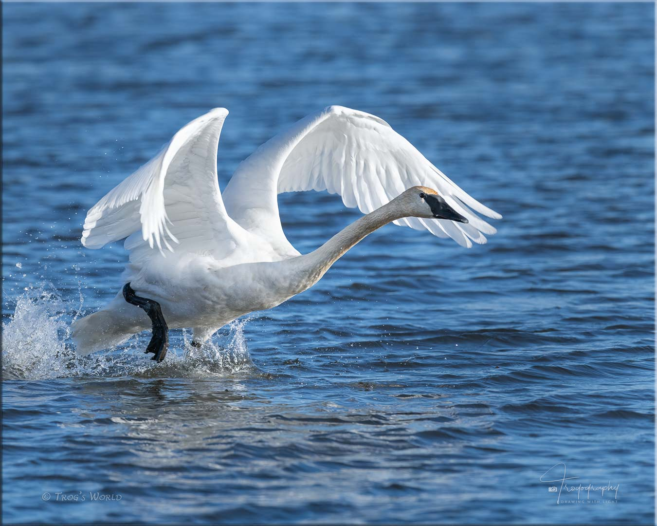 Trumpeter Swan taking off