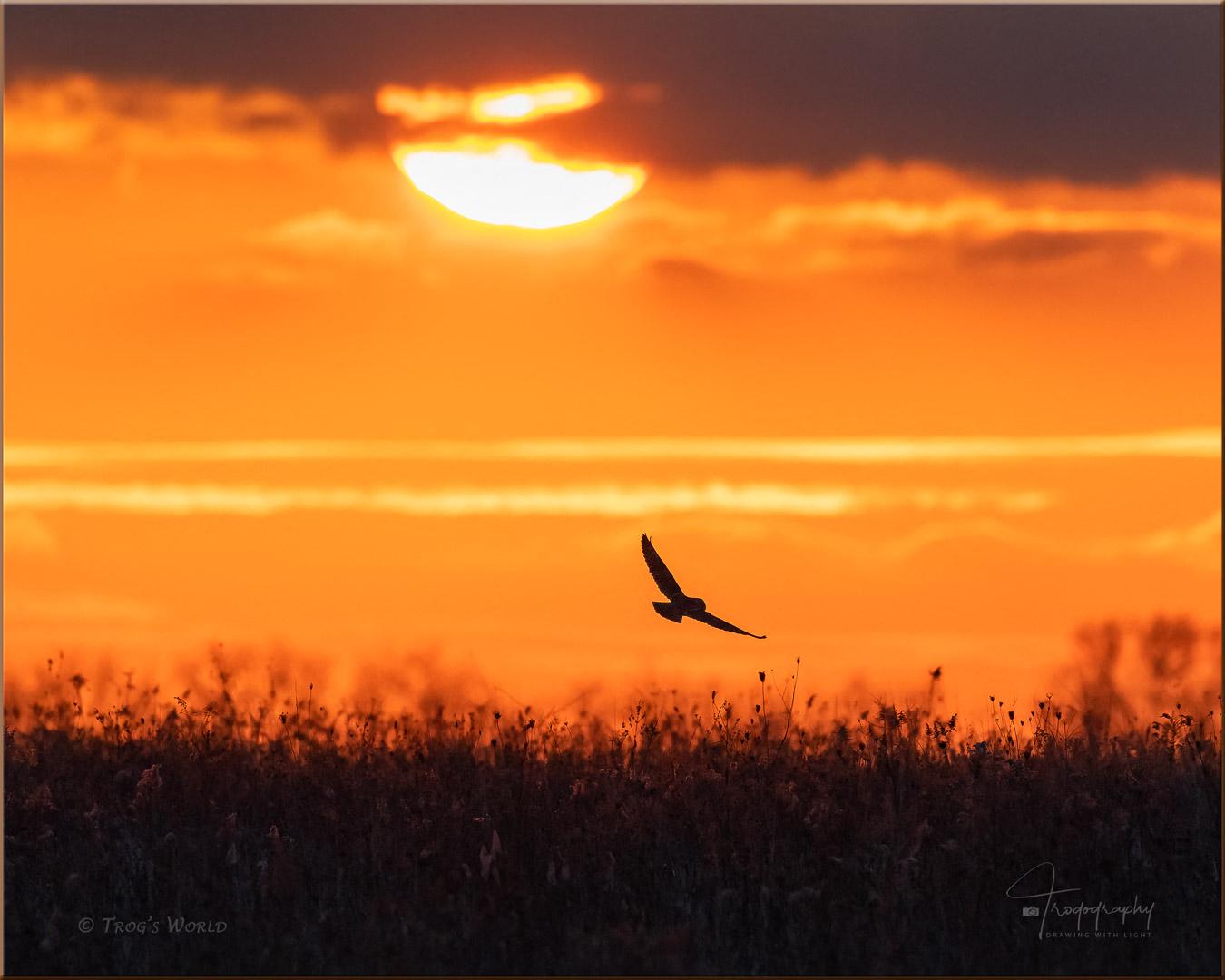 Short-eared Owl in flight during sunset