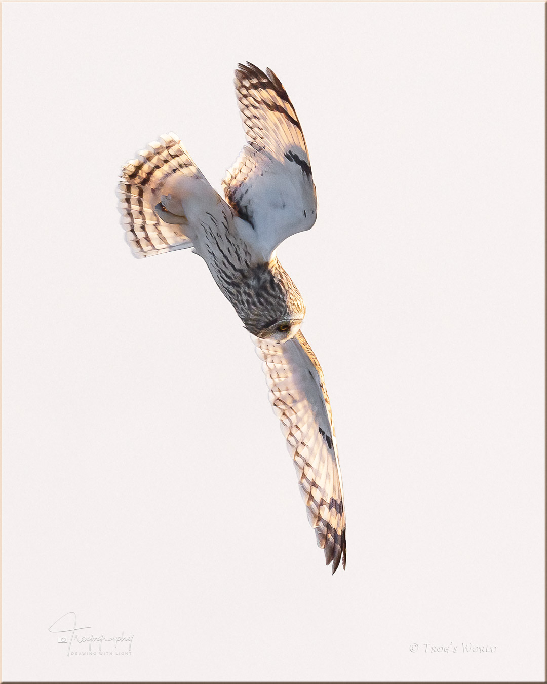 Short-eared Owl dives for a vole