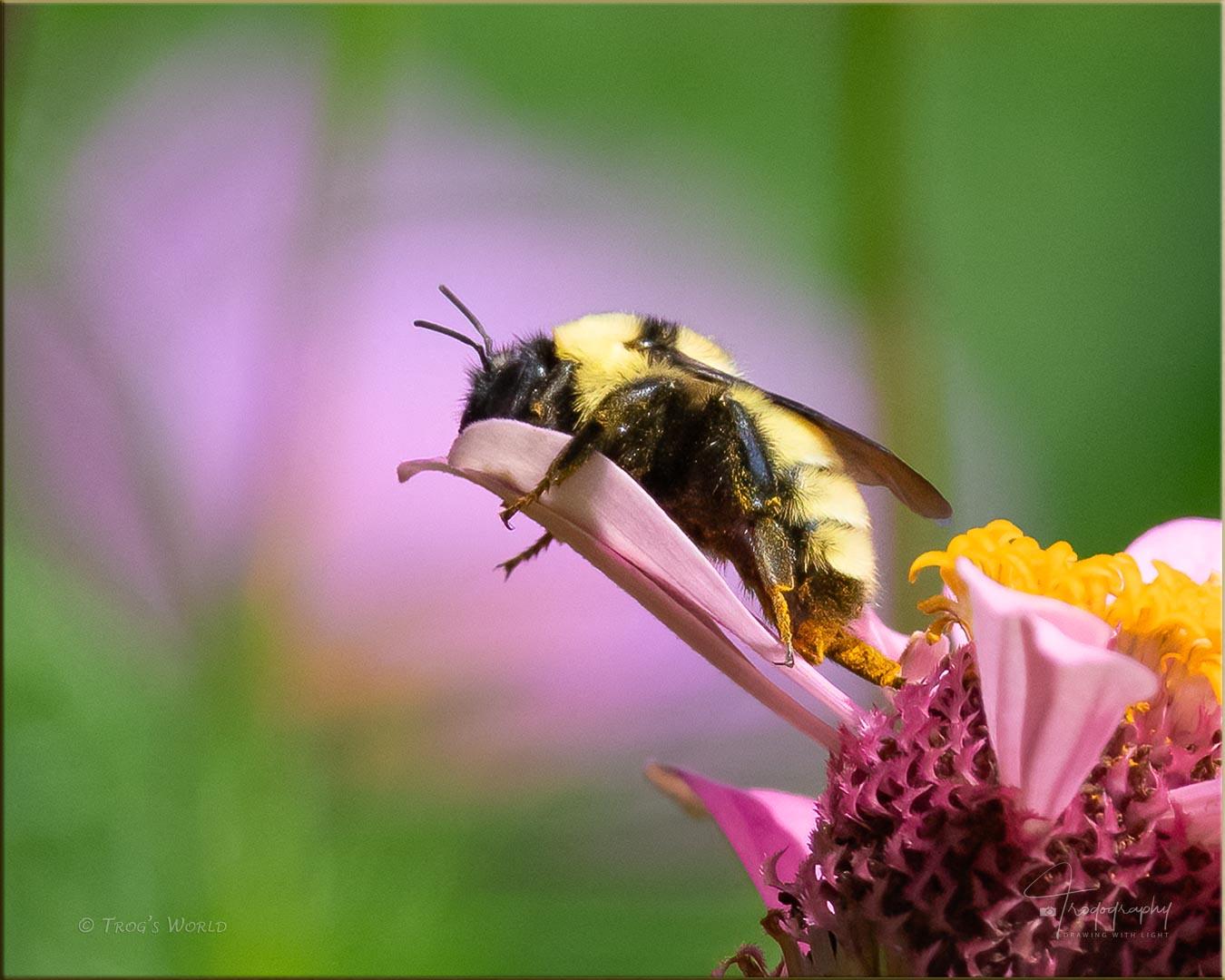 Bumblebee sleeping on a flower petal