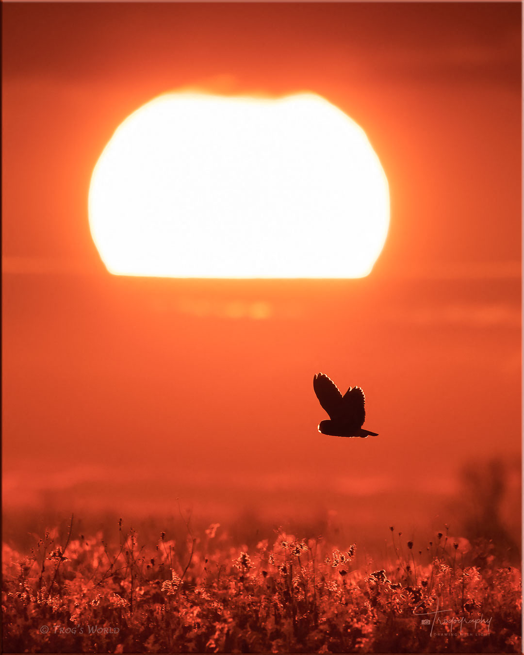 Short-eared Owl in flight at sunset