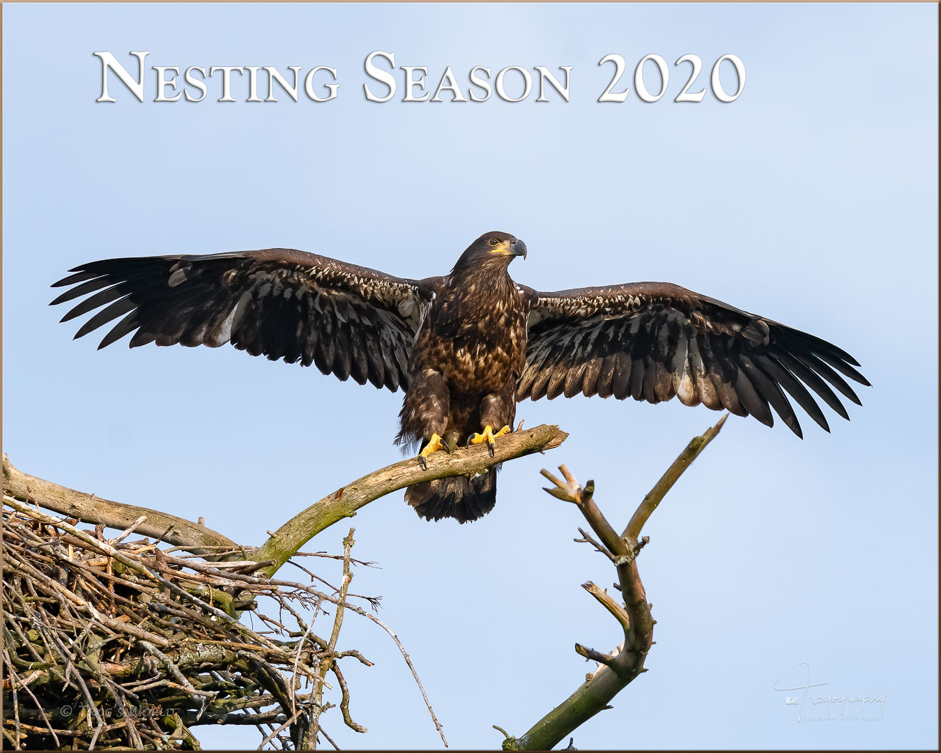 Eagle delivering fish to the nest for the eaglets