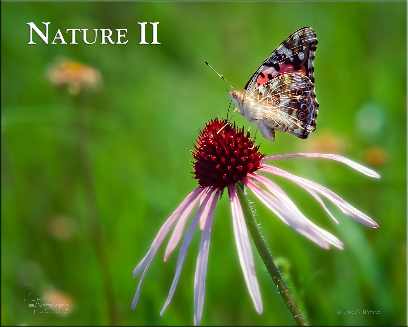 Painted Lady butterfly on a pale coneflower