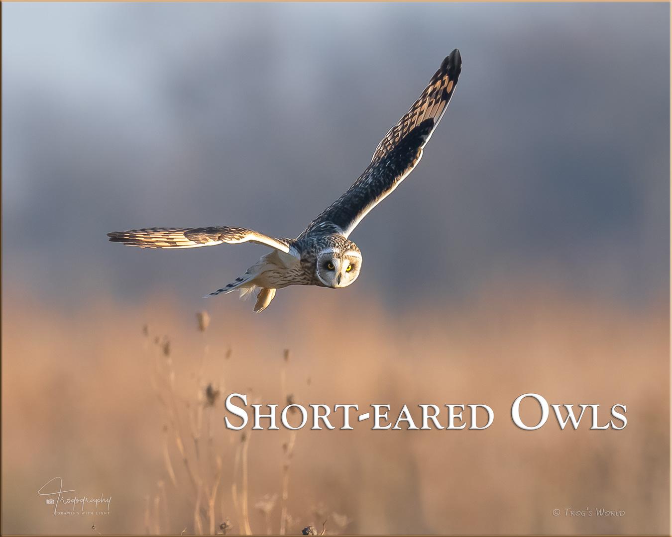 Short-eared Owl in flight over the prairie