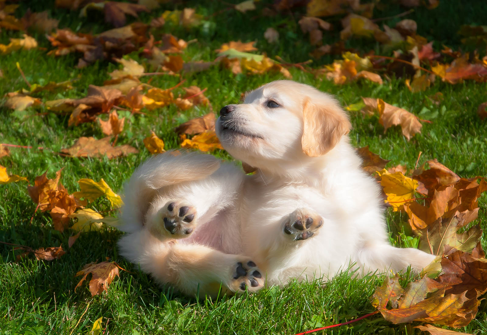 Golden Retriever puppy rolling in the leaves