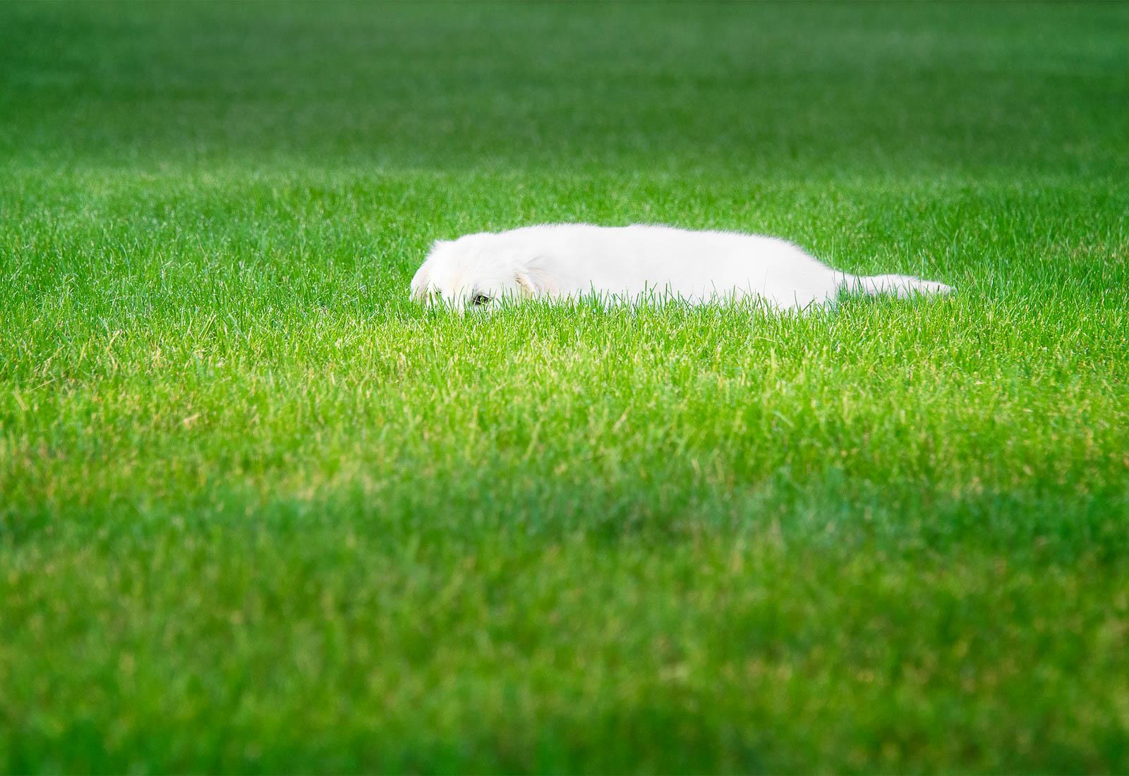 Golden Retriever puppy hiding in the grass