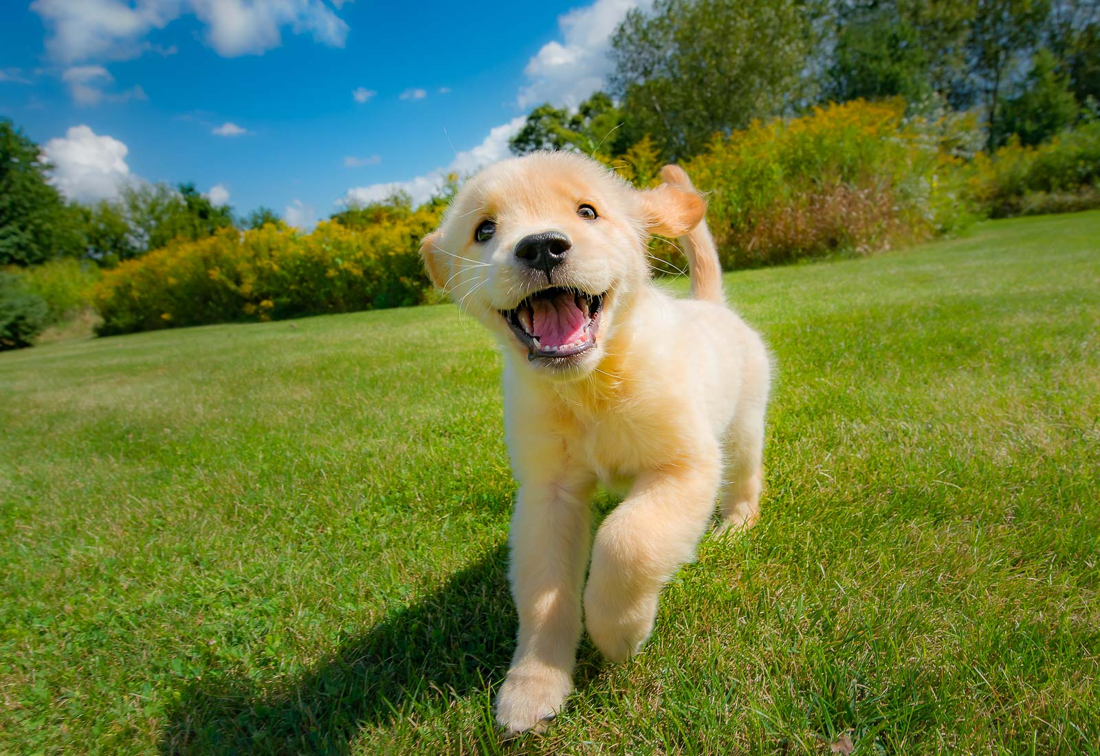 Golden Retriever puppy smiling and running