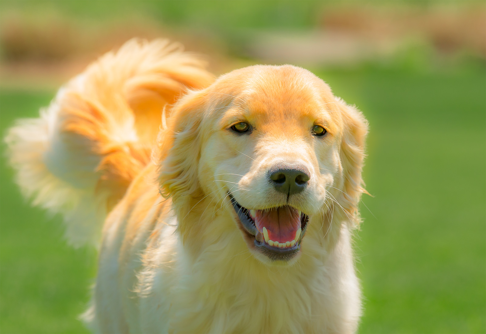 Golden Retriever smiling while prancing