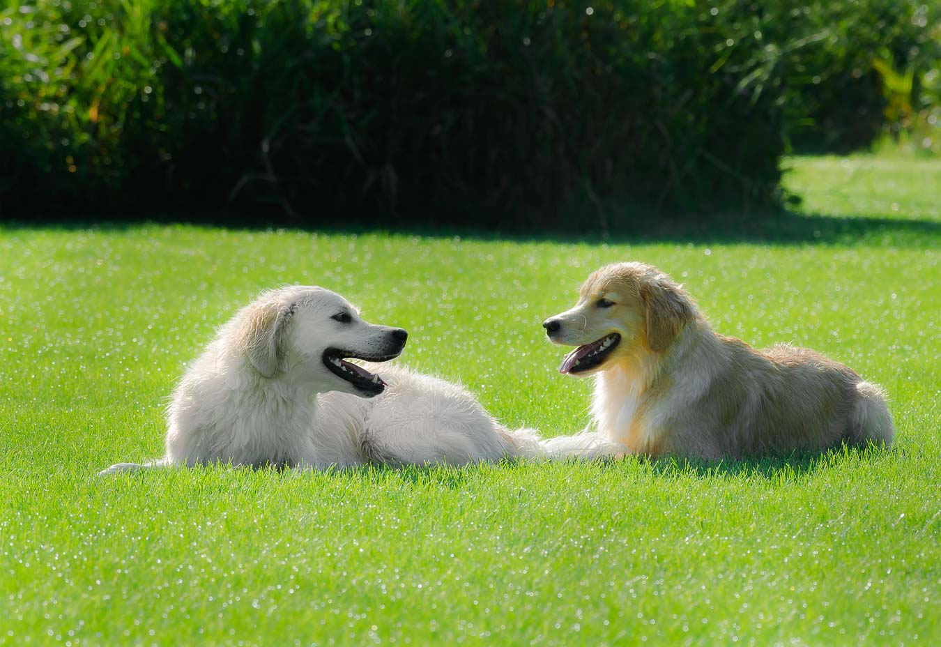 Two Golden Retrievers resting after playing