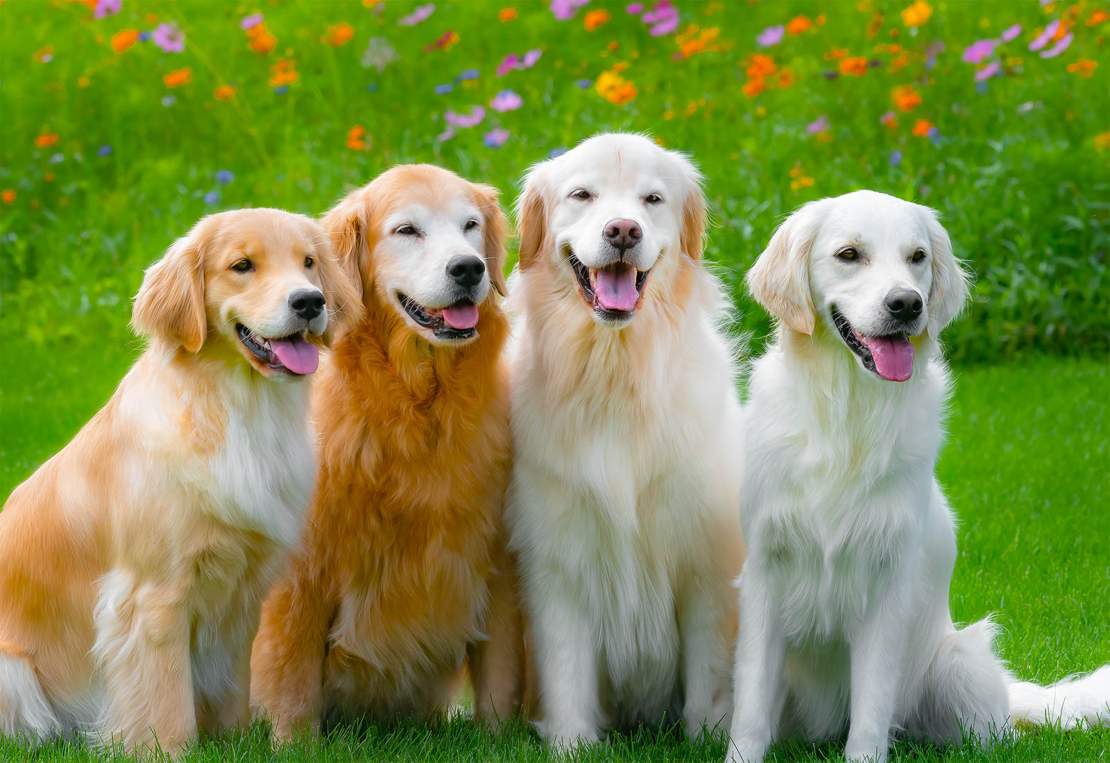 Four Golden Retrievers smiling on a summer day