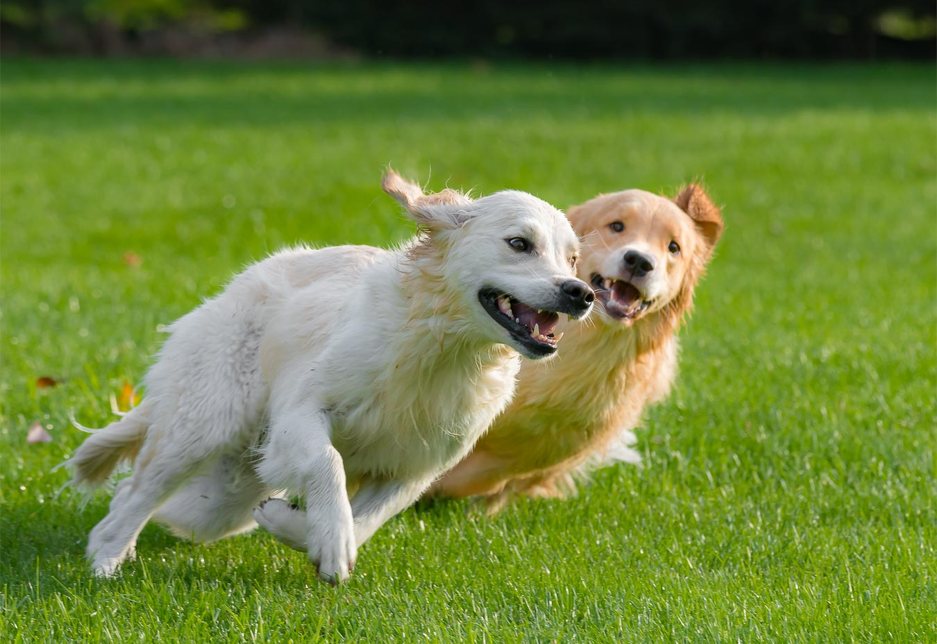 Two Golden Retrievers chasing each other