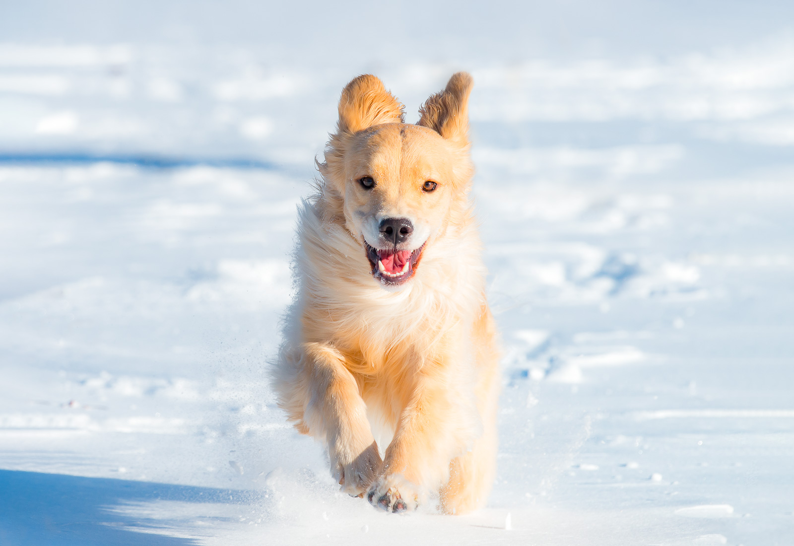 Golden Retriever running in the snow