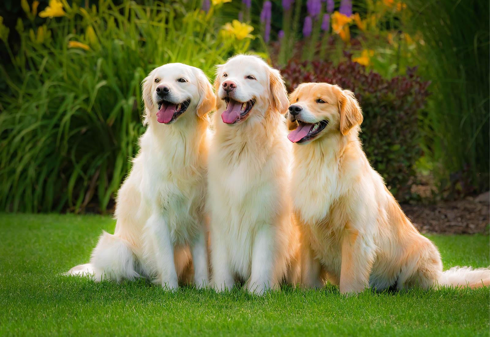 Three Golden Retrievers smiling