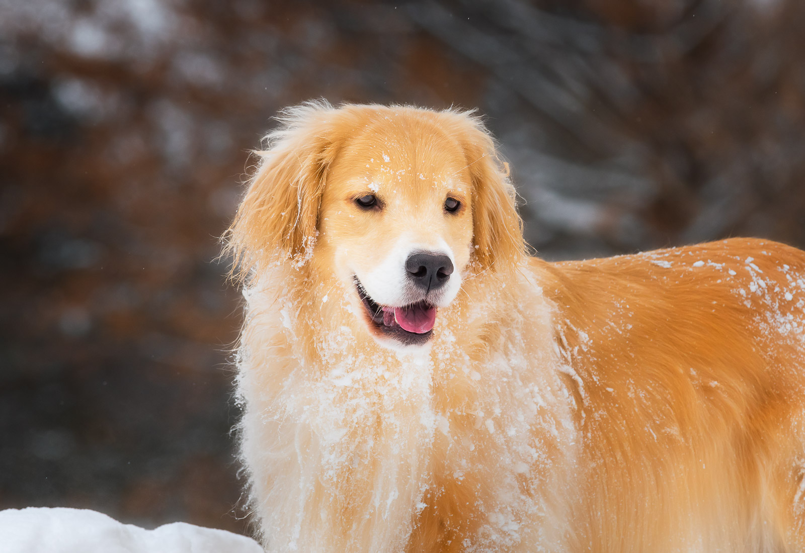 Golden Retrievers pausing after playing in the snow