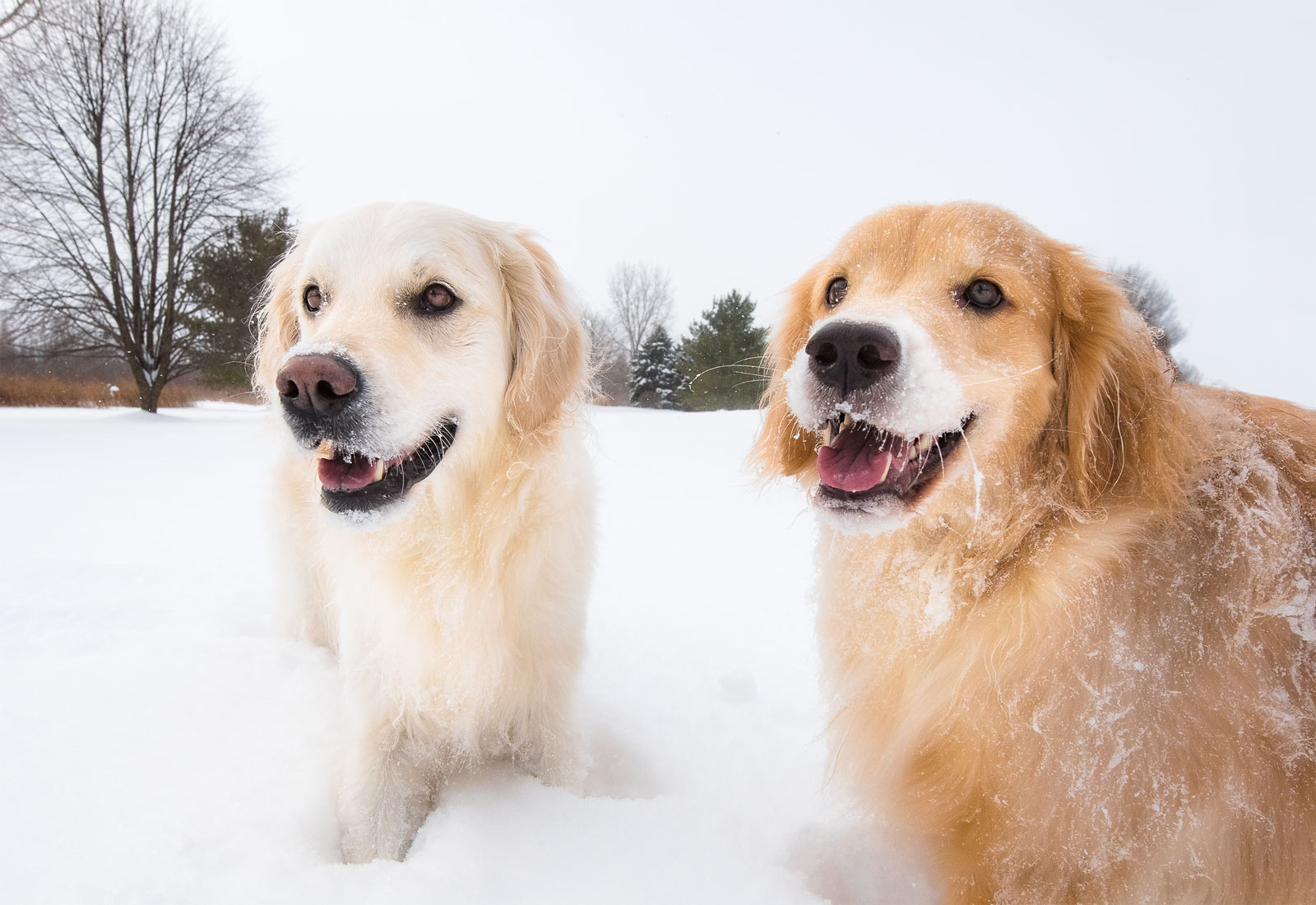 Two Golden Retrievers smile after playing in the snow