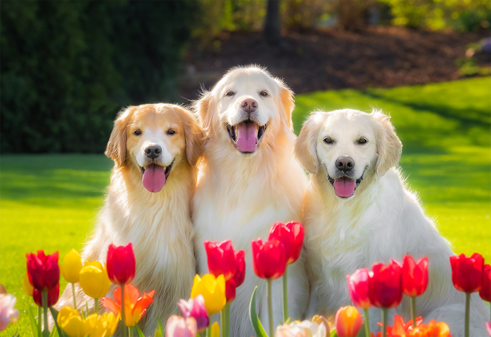 Three Golden Retrievers smiling in the tulips