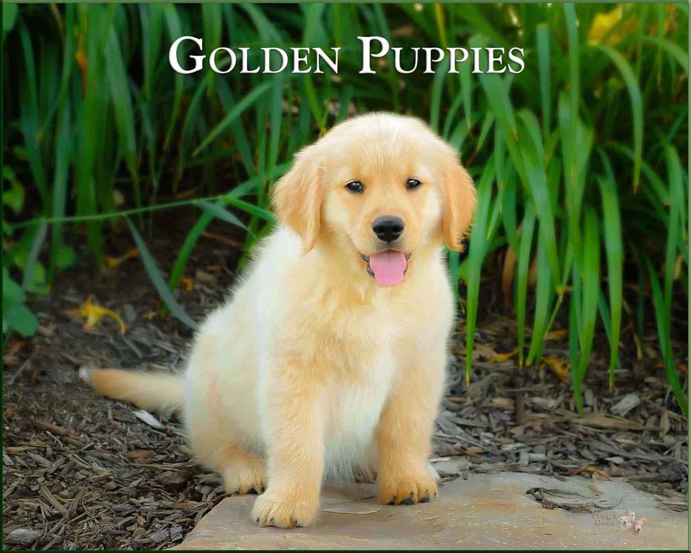 Golden Retriever Puppy sitting on a rock