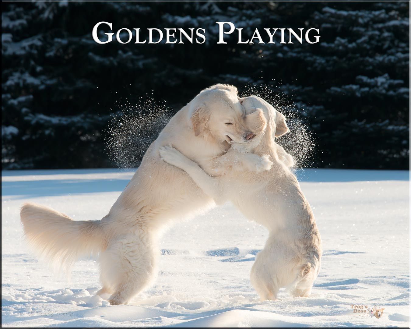 Two Golden Retrievers playing in the snow